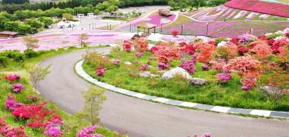 福島|平田村芝櫻.滿山杜鵑芝櫻的萬紫千紅