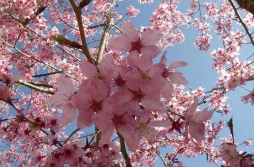 阿里山森林遊樂區–賞櫻散步去~