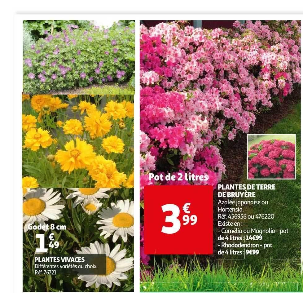 Promo Plantes Vivaces Plantes De Terre De Bruyere Chez Auchan