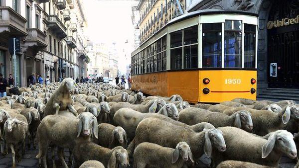 Macet di Kota Milan karena biri-biri (Foto: News)