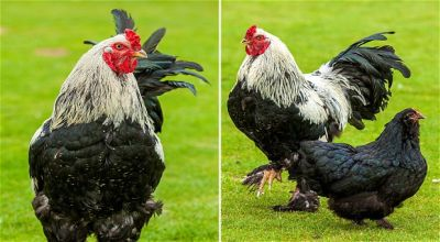 Little John yang dibandingkan ayam biasa (Foto: Telegraph)