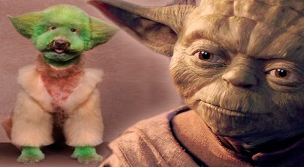 Anjing yang didandani seperti Yoda (Foto: Mirror)