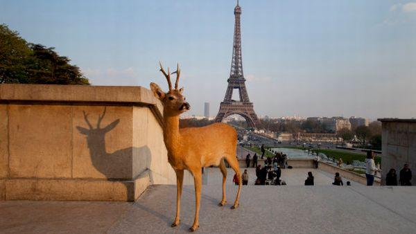 Rusa di tengah kota Paris (Foto: HuffingtonPost)
