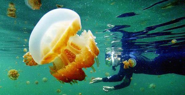 Ubur-ubur di Pulau Kakaban (Foto: blog.kliktoday)