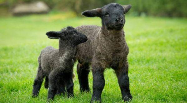 Goliath (kanan) anak domba terbesar di dunia (Foto: Metro)
