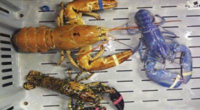 Restaurant Find Lobster Various Colors