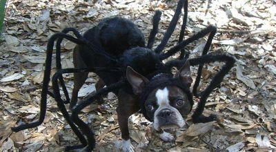 Anjing yang menggunakan pakaian Spiderman (Foto: The Sun)