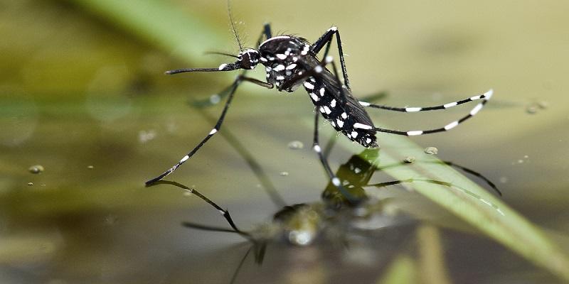 serangga nyamuk