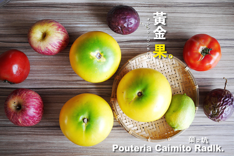 【水果試食】菓(果)之坑 黃金果:來自中南美洲與新加坡的蜜蛋黃果(黃晶果)~富含維生素C、維生素B3與多種營養價值~軟Q黏滑香甜多汁新食感果子!(團體訂購或試吃請向業者洽詢)