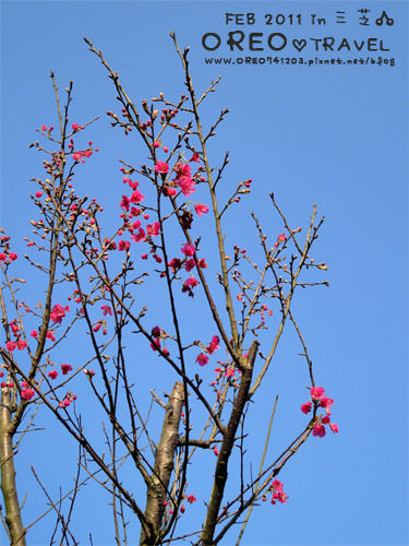 [OREO的旅行日記。台灣旅遊景點] 三芝的櫻花開囉~~!!OREO的三芝+金山老街遊玩路線