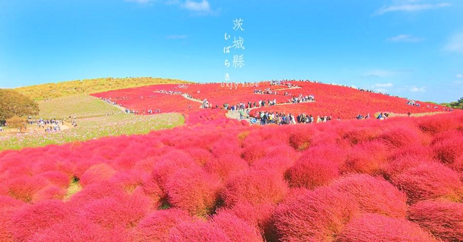 茨城|東京近郊~常陸海濱公園超治癒掃帚草球海~欣賞時間、交通、地圖