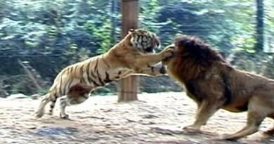 Tigre vs leão – duelo animal – quem é mais forte