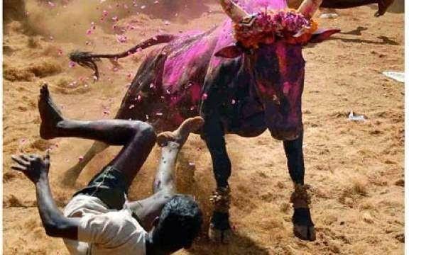 L'Inde interdit le combat de coqs, de chiens, les corridas et les courses de taureaux