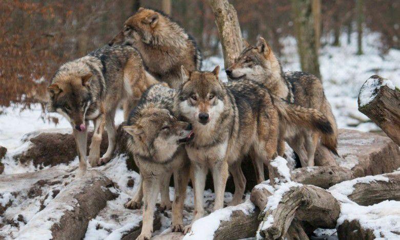 Abattre plus de loups ? Le gouvernement demande votre avis