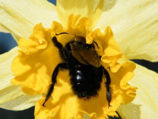 xylocope violace abeille noir spectaculaire bruyant mais inoffensif balades entomologiques
