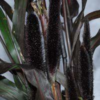 Ophiopogon nigrescens, Ipomea Blackie, fleur de Pennisetum,fleur de Tacca Chantieri (pour l'intérieur),