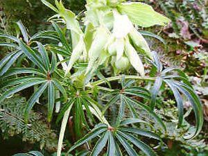 Fleurs d'Euphorbia dulcis, et d'Helleborus foetidus qui en plus d'avoir une fleur verte, leur met la tête en bas.. elle a donc choisit pour attirer les pollinisateurs de dégager une odeur forte.