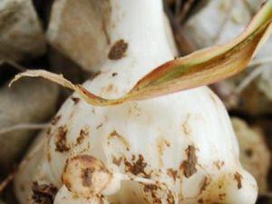 Stolons de fraises, spores de fougère, rhizome d'iris, rhizome de bambou, tubercule de pomme de terre, bulbilles d'allium