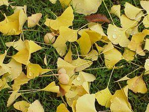 Ovules et feuilles de Gingko