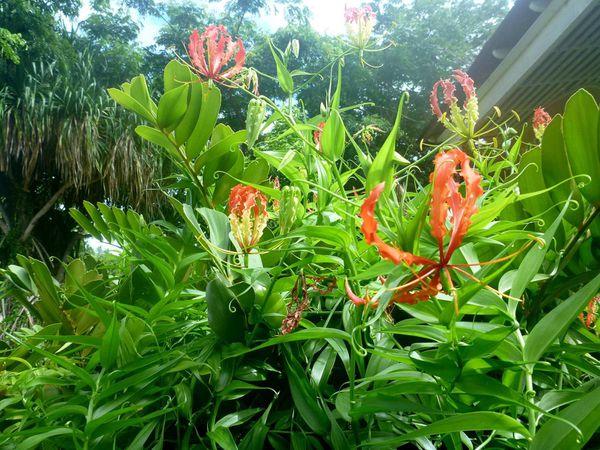 Elle est toxique ! Toute la plante, à cause de la colchicine qu'elle contient. Le rhizome est la partie la plus efficace si vous souhaitez vous débarrasser de quelqu'un ! ...
