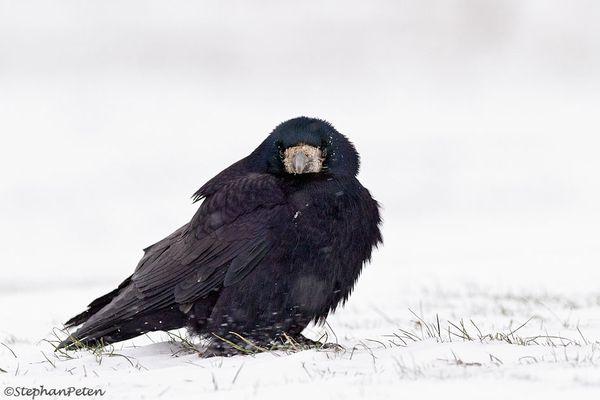 L'hiver chez les Corbeaux freux