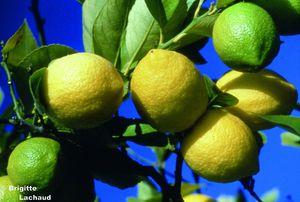 Citrons--c-Brigitte-Lachaud-.jpg