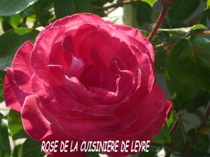 ROSEOUVERTE