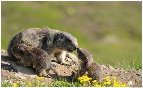 Marmottes-2013 5379