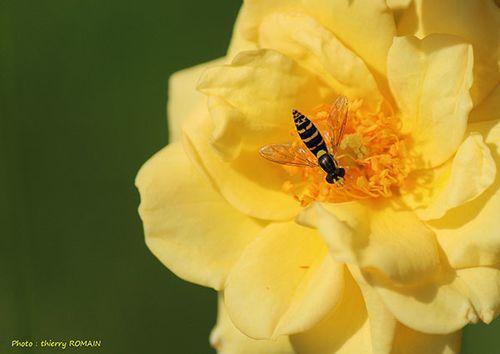 jaune-1