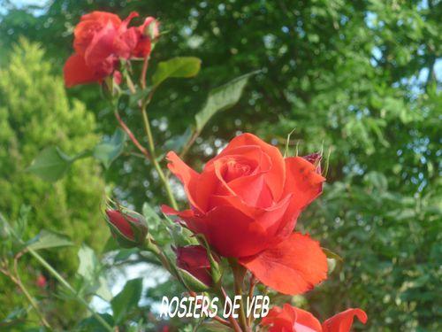 rosierschnor