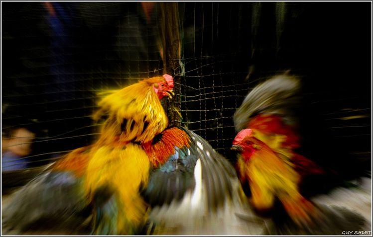 Cockfighting a