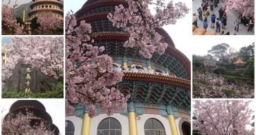 淡水賞櫻花景點 天元宮 吉野櫻爆炸~交通/拍攝角度總攻略