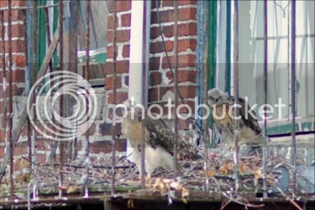 Boston Red-tailed hawk, Chicks