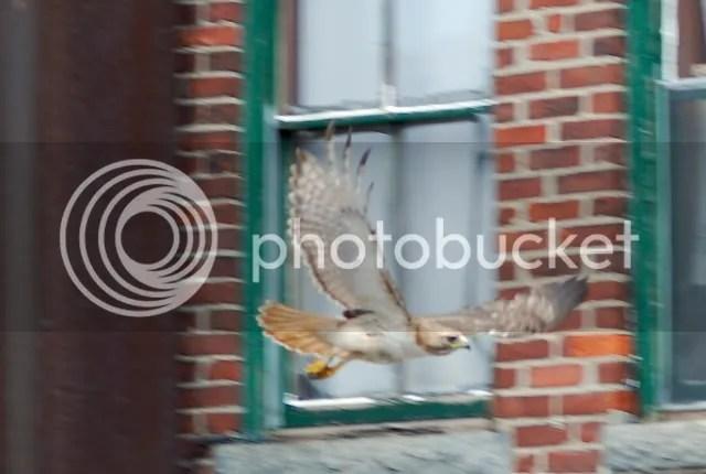 Boston Red-tailed hawk, Male Boston