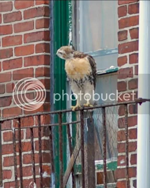 Boston Red-tailed hawk, Boston