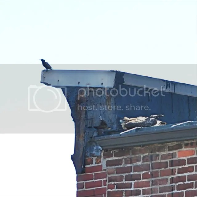 Pictures of Boston Red-tailed hawk, Birds of Prey