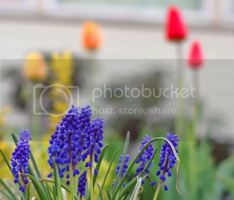 pics of grape hyacinths in our garden by Arun Shanbhag