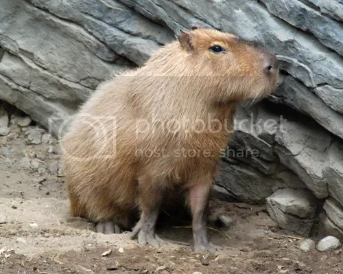 This is a capybara, though.