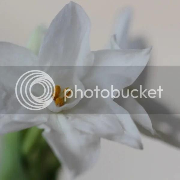 Paperwhite Narcissi