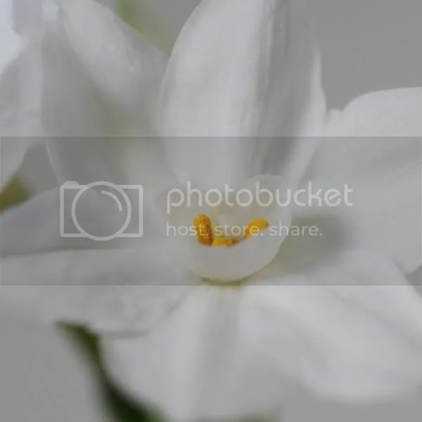 Paperwhite Narcissi