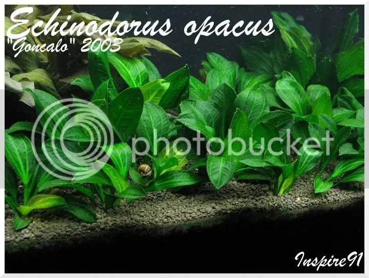 Echino. opacus small specimen