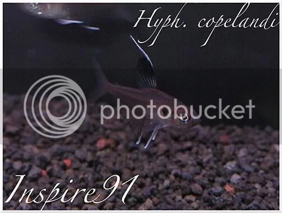 Hyph. copelandi