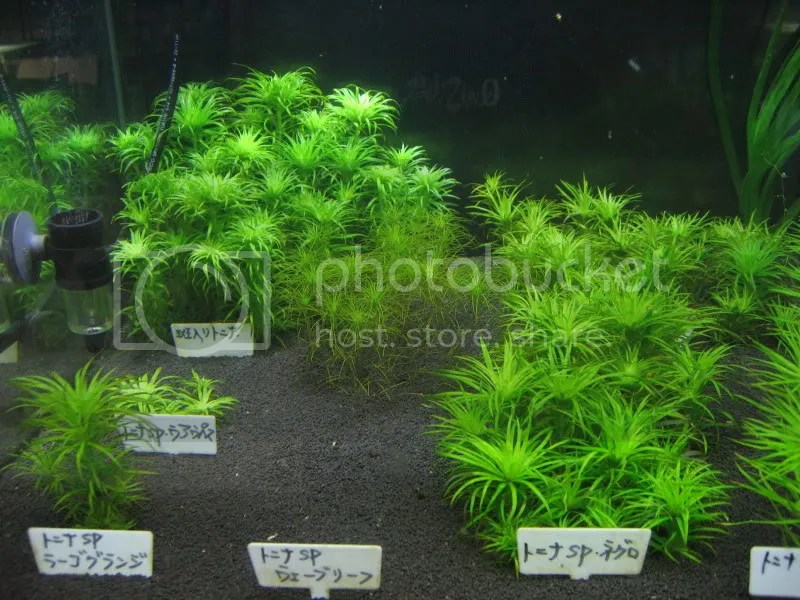 Syngonanthus variety