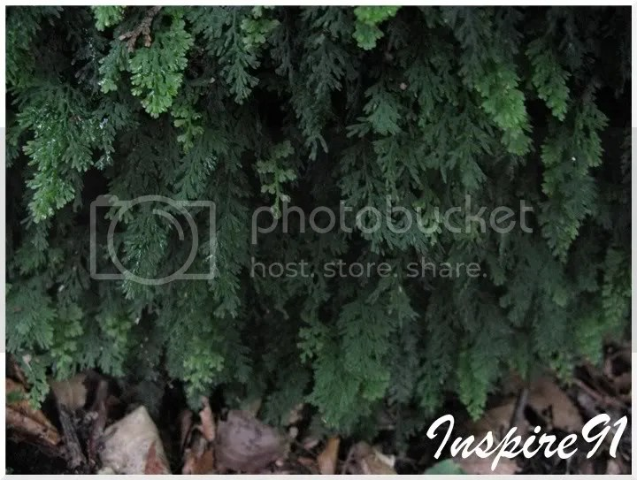 smallfern2