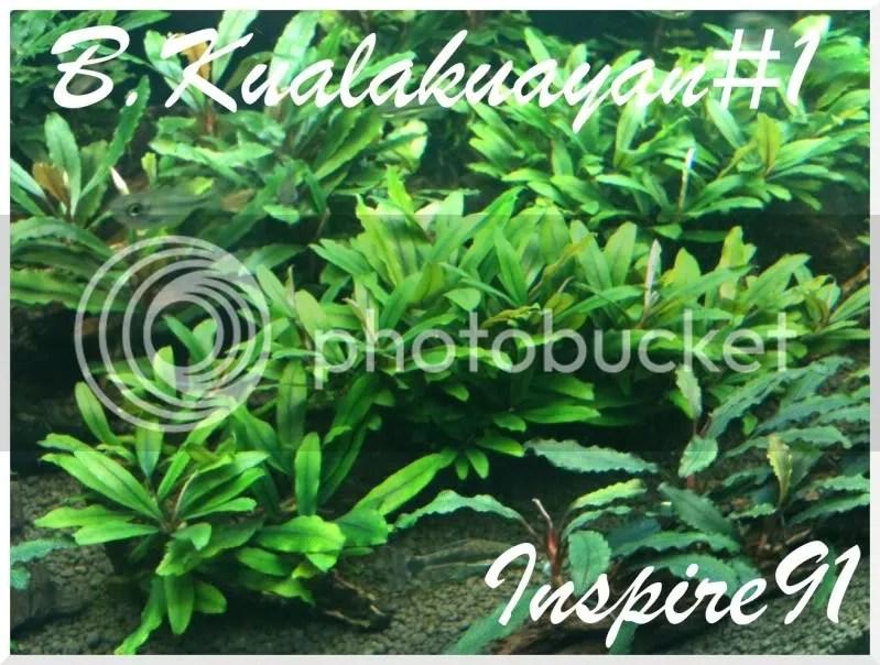 B.Kualakuayan#1-1