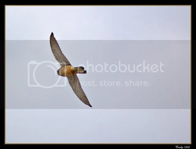 Bird of prey, South Shields
