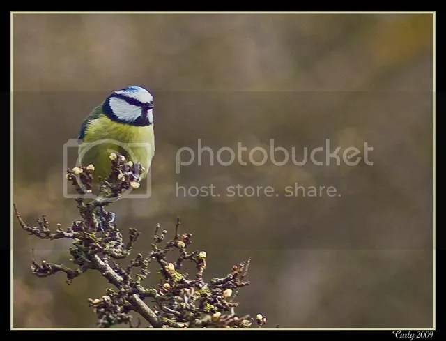 Blue tit, South Shields