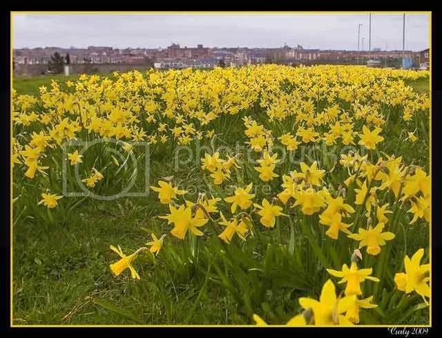 Daffodils, River Drive, South Shields