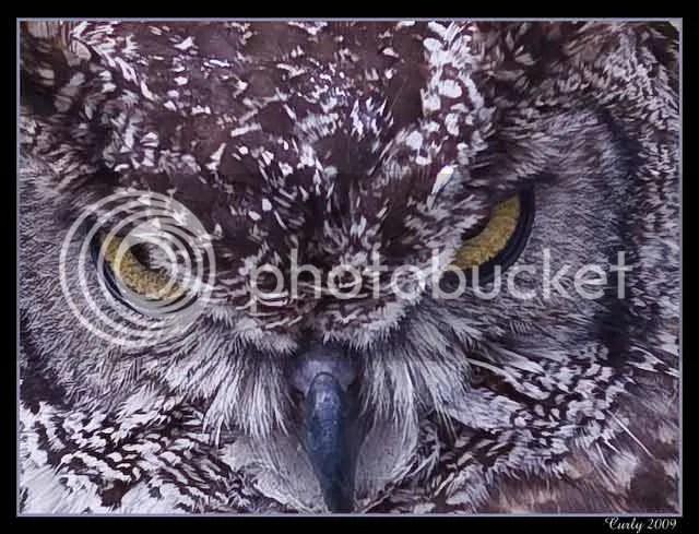 Eagle owl, medieval fair, jarrow