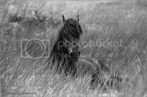 Sable Island horse by Robert Dutesco